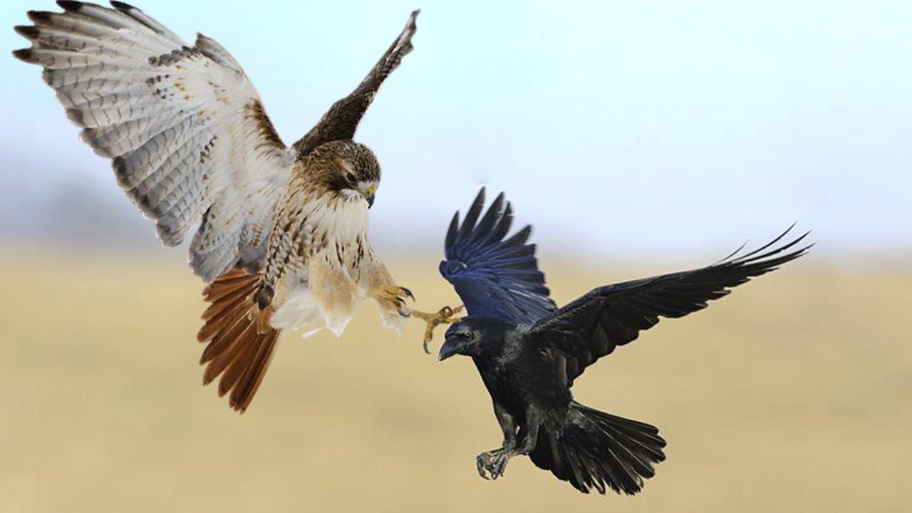 How Do Sparrowhawk Destroy Crow?
