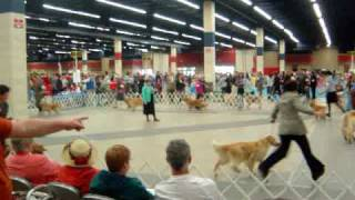 Golden Retrievers Circling The Ring At Fort Worth Kennel Club Dog Show 2010.