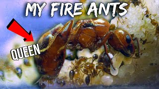 MY GROWING ARMY OF FIRE ANTS | GETTING BIGGER & MORE COMPLEX