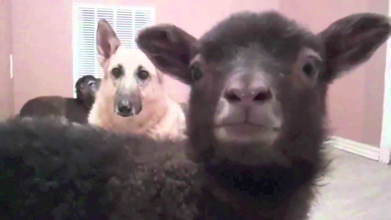 Funny Black Sheep Meme : Funny sheep puns