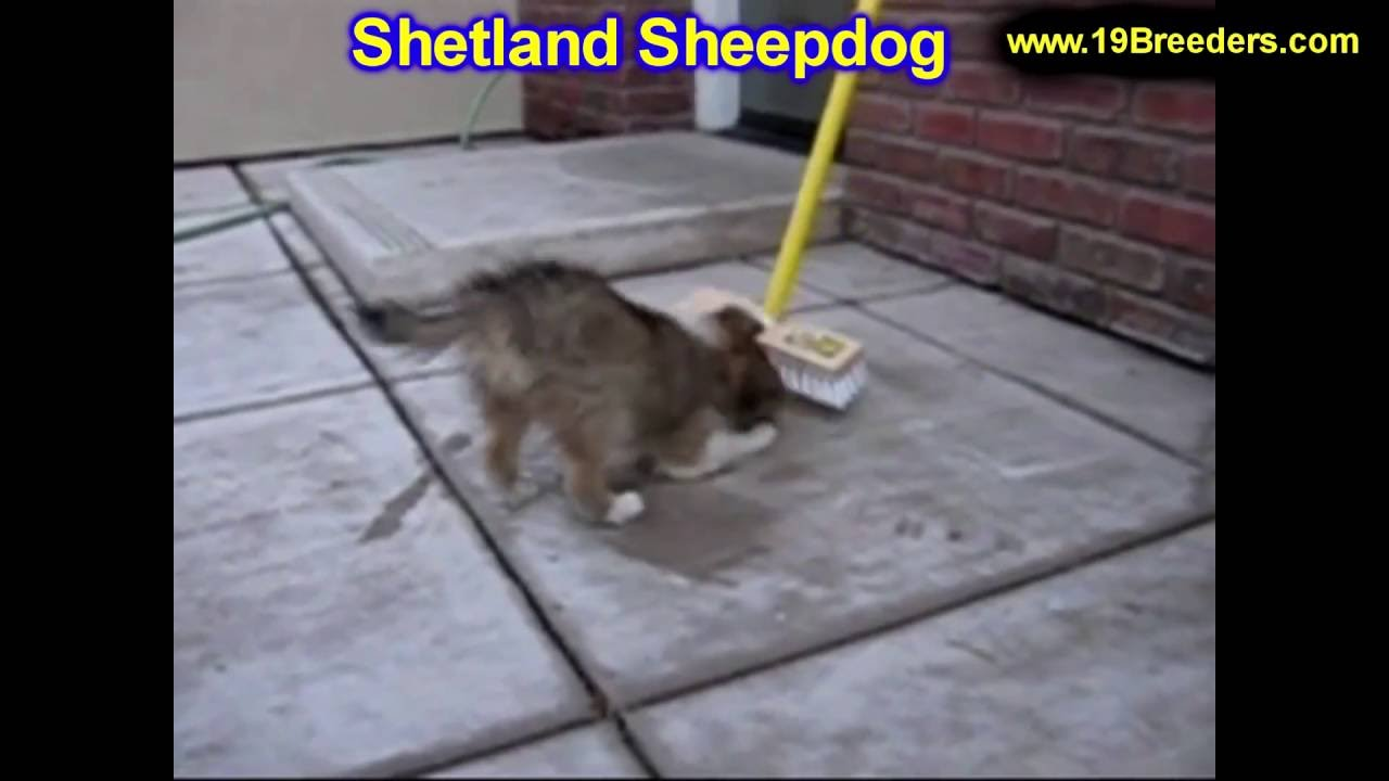 Shetland Sheepdog, Puppies, Dogs, For Sale, In Chicago ...