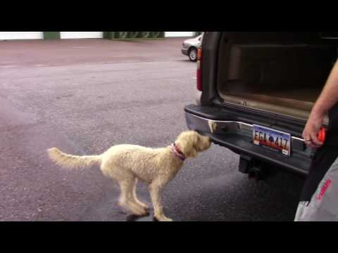 Best Labradoodle Training.  Stella a 7 month old puppy learning basic and advanced dog obedience