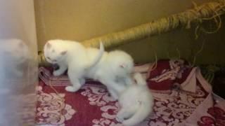 Белые шотландские котята