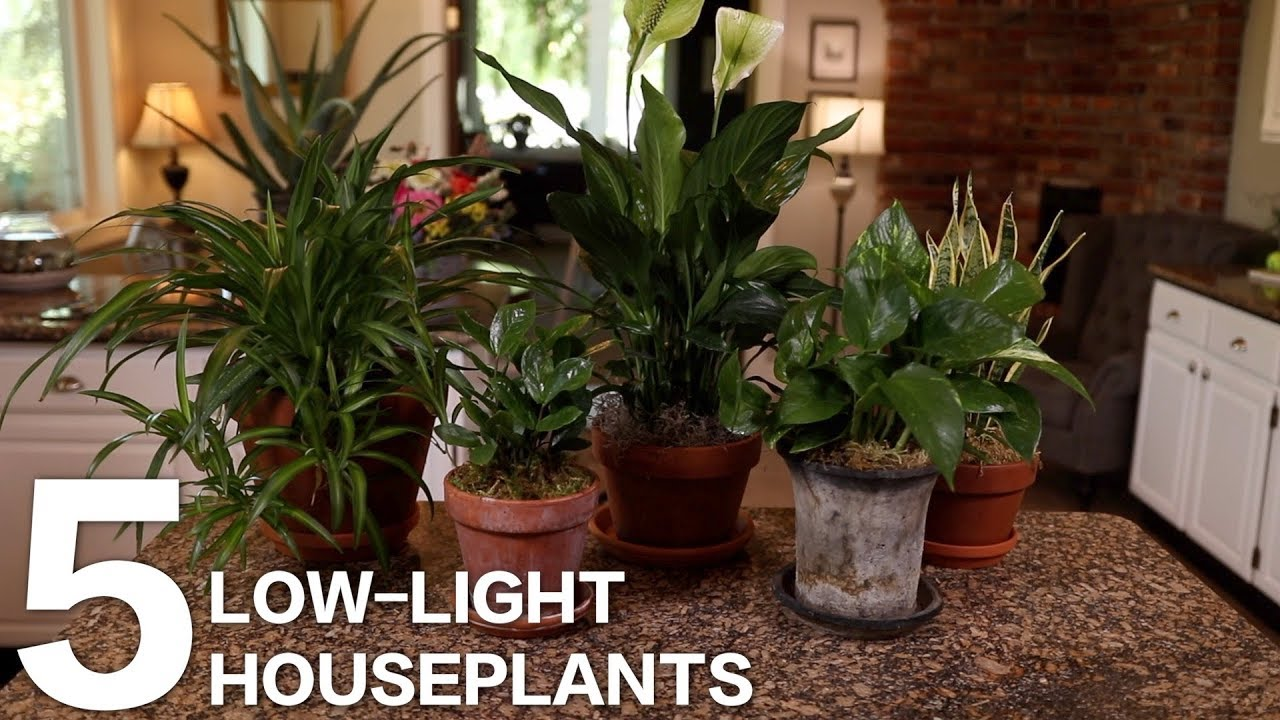 5 Low Light Indoor Plants For Your Home Or Office Youtube