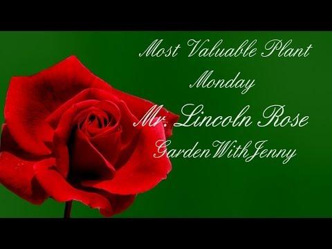 MVP Mister Lincoln Rose