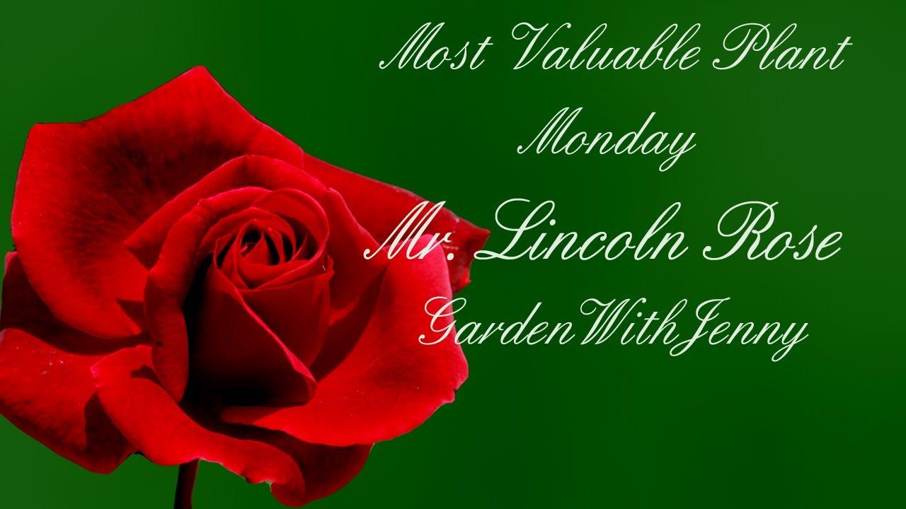Mvp Mister Lincoln Rose Youtube