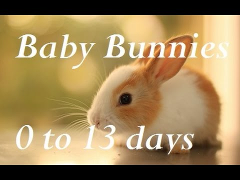 Baby Bunny Life Cycle: 0-13 Days.