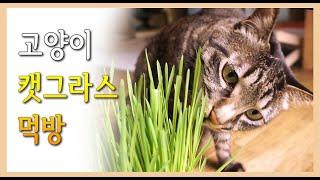 풀먹는 고양이 - 캣그라스(귀리싹) 먹방