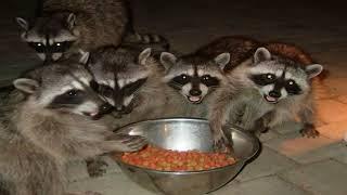 Animal Jam- in der Höhle des Waschbären als Fuchs!?