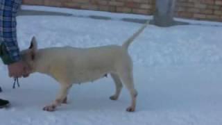Sitanka From Black And White Gipsys - Four Horsemen Bull Terriers