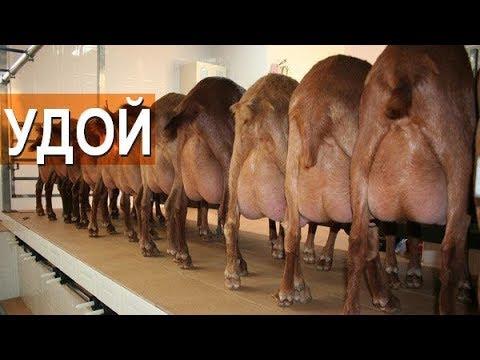 Сколько молока дают испанские козы породы Малагуенья?