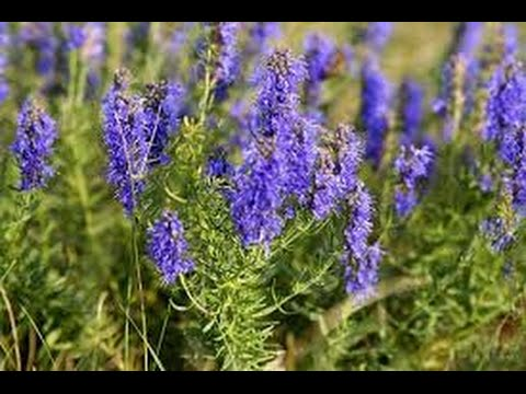 Benefits Of Hyssop YouTube