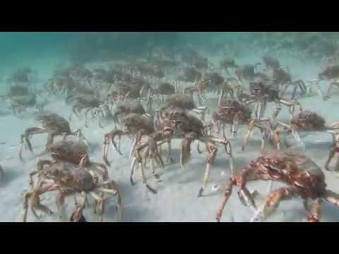 2014 Spider Crab Migration Scuba Rye Pier