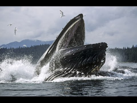 Whales jumping out of water next to surfer - photo#13