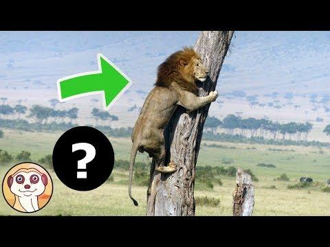 QUAL È L'ANIMALE DI CUI IL LEONE HA PAURA ? FATTI STRANI CHE NON SAI RIGUARDO IL LEONE!