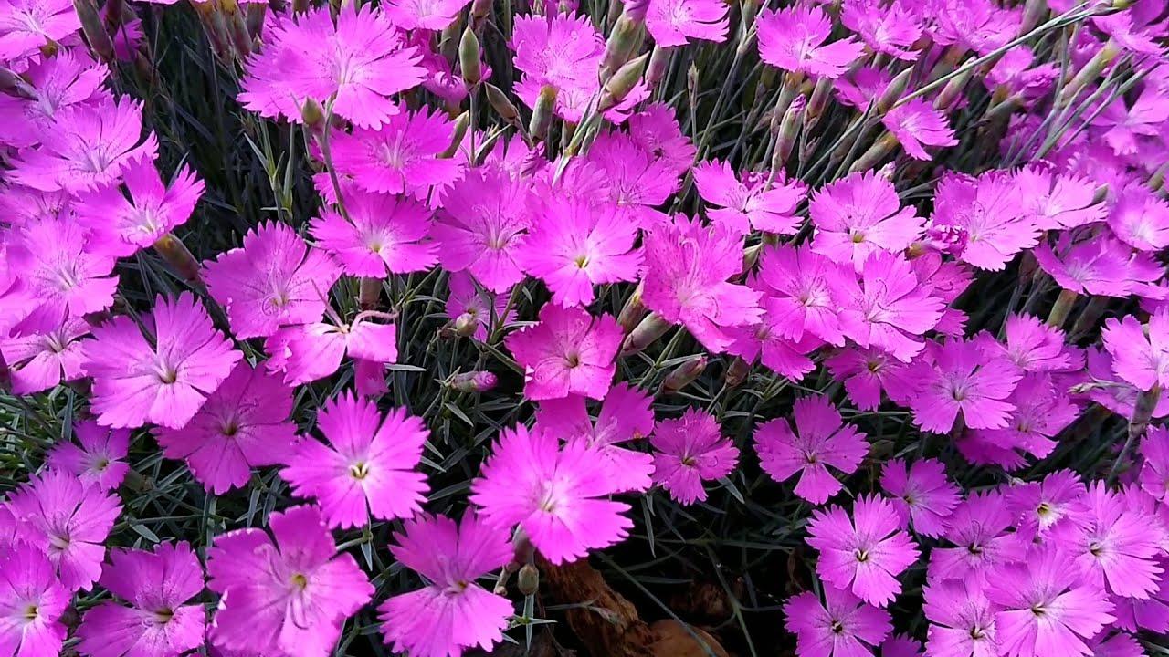 Неприхотливые многолетние цветы для клумб и альпийской горки. Дорога ЦВЕТОВ.