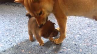 Щенок сиба (шиба) ину играет с мамой Эммой