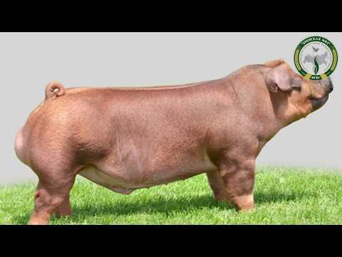 Племенные свиньи породы «Дюрок»