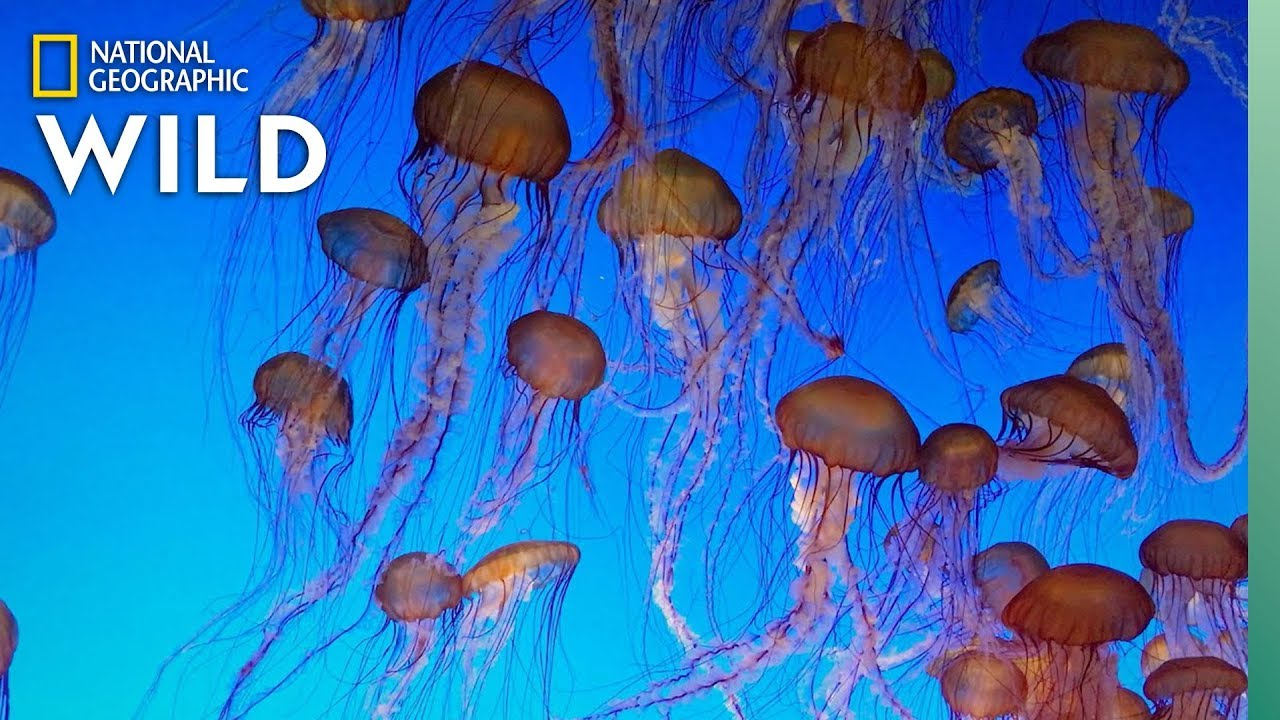 Jellyfish 101 | Nat Geo Wild