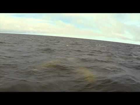 Swimming with Beluga Whales in Churchill with Churchill Wild.