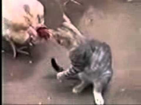 Gallina - fina - vs - kid - minino - Tutv - Tus videos en
