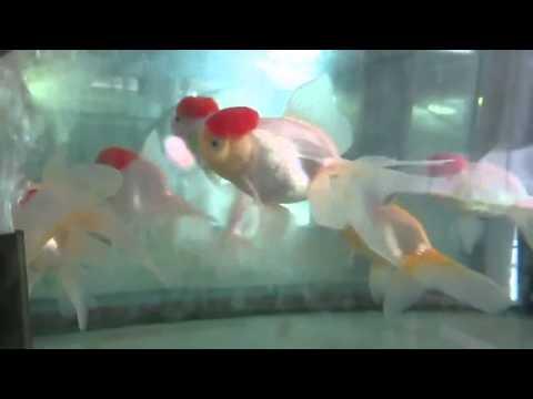 Золотая рыбка Оранда Красная шапочка Tancho Oranda