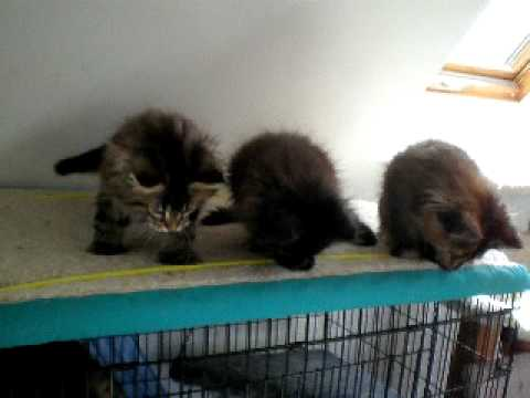 Maine Coon Kittens - Black Solid, Brown Classic Poly, Brown Torby