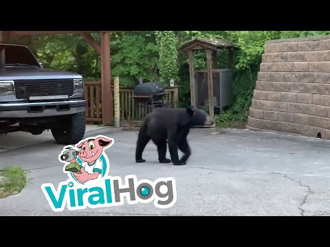 Sean Salisbury - Bear Walks Up to House and Steals Bacon