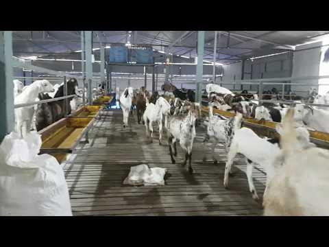 Goats Marathon At Green Valley Agro Goat Farm.