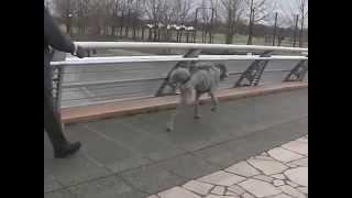 アイリッシュウルフハウンドの小梅ちゃん、断脚手術2ヶ月後の動画です.