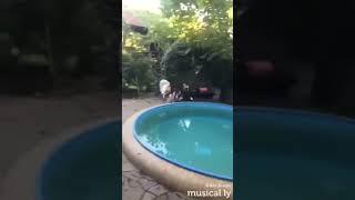 Как играют собаки )))) Вельш корги кардиган