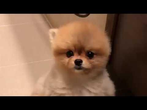 cute german spitz -  pomeranian puppy Lilli takes a bath