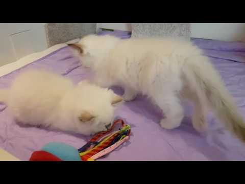 Ragdoll kittens 8 weeks old...lilac and chocolate girls