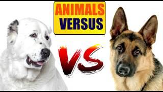 Алабай против Немецкой овчарки  | ANIMALS VERSUS | КТО ЖЕ ПОБЕДИТ?