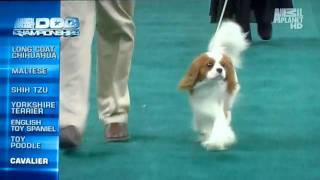 Cavalier King Charles Spaniel - Cooper. Animal Planet Dog Championships