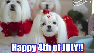 Life:  Happy 4th Of July From Maltese Obsession ~ Tweety And Dolce The Maltese