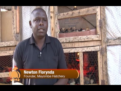 Kienyeji Chicken Hatchery Business - Part 2