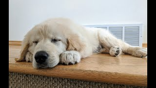 Supercut of Golden Pyrenees puppy Kazak from bringing him home to 8 months of age