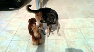 Video Cachorro pequeno tenta cruzar com cachorra grande download MP3, 3GP, MP4, WEBM, AVI, FLV Agustus 2018