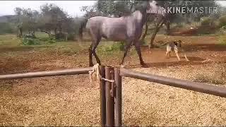 Психология лошадей. Агрессия против собаки.