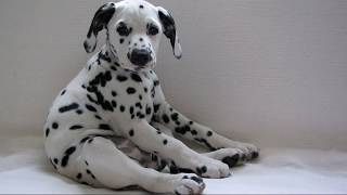 Далматин (Dalmatian dog) - порода собак
