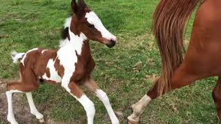 New foal Strike from barn to pasture