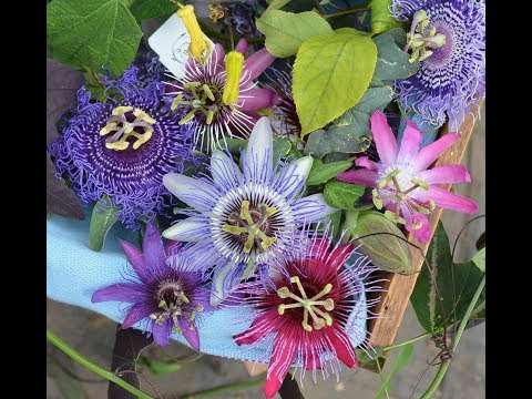 46.How to grow and care passiflora/passion flower/krishnkamal/kuravpandav plant