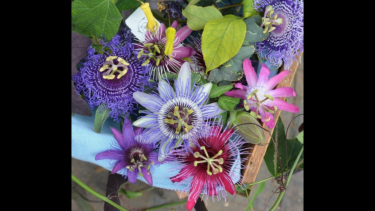 46.How to grow and care passiflora/passion flower/krishnkamal ...