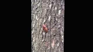 YouTube Captureから 夏、セミの幼虫を見つけました。 初めて見ました!...