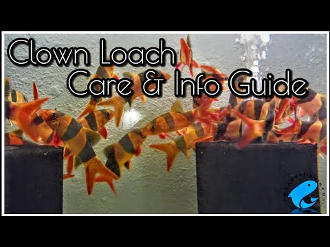 Clown Loach Care & Information Guide