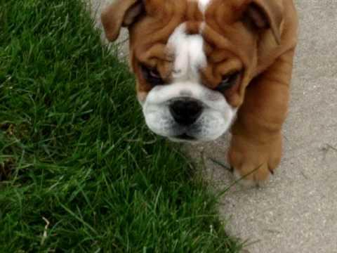 12 Week Old Male English Bulldog Puppy