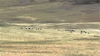 Herd of yak grazing in the valleys of Mansarovar