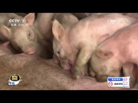 20170724 科技苑  屠夫去养猪 养法有点怪