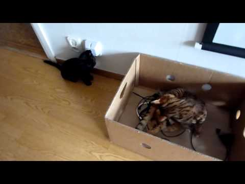 Bengal and Bombay cats playing